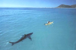 shark following kayak